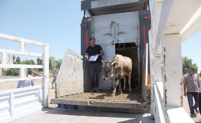 Ahlat'ta 41 çiftçiye 298 hayvan dağıtıldı