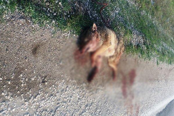 Dağdan ovaya inen kurda araç çarptı