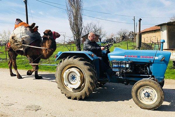 Develerini traktörüyle güreşlere hazırlıyor