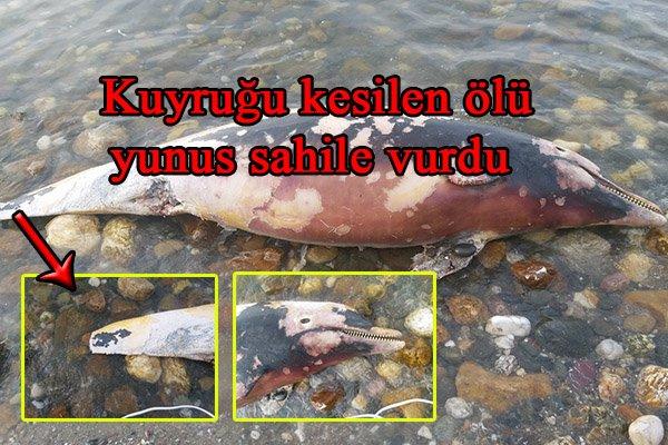 Kuyruğu kesilen ölü yunus sahile vurdu
