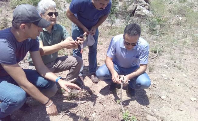 Bozcaada'da damla sakızı ekonomiye kazandırılıyor