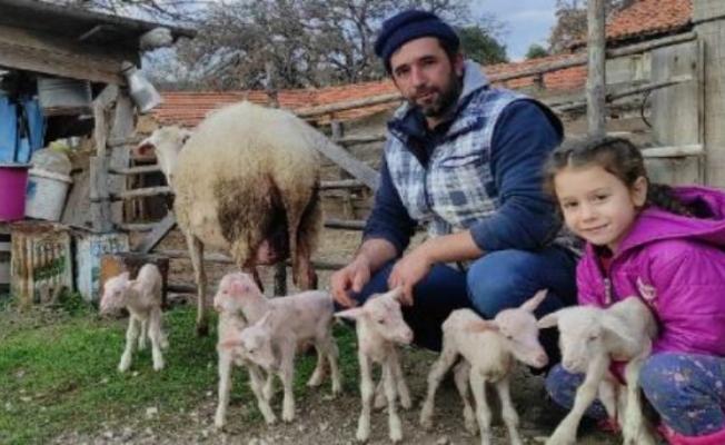 Koyun, tek batında 6 yavru doğurdu
