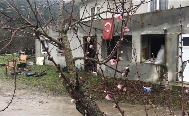 Kaz Dağları eteklerindeki şeftali ağacı çiçek açtı