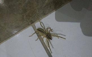 Niğde'de mahallelinin sarıkız örümceği paniği