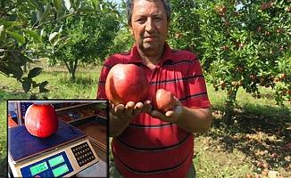 1 kilo 105 gramlık elma görenleri şaşırtıyor
