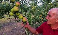 Zararlı böceklere karşı armut ağaçlarını tütün suyu ile koruyor