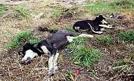 4 köpek zehirli tavuk etleriyle katledildi