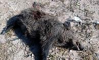 Yola inen domuza otomobil çarptı