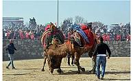 Ayvacık'da deve güreşleri nefes kesti